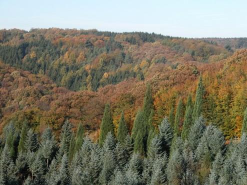 Im Vordergrund Edeltannen und Riesenmammutbäume, im Hintergrund gemischter Buchenwald im Herbst