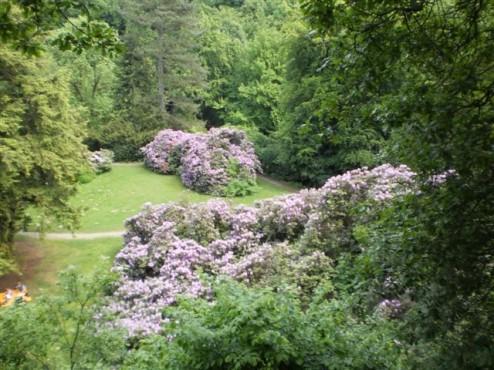 Rhodrodendronblüte neben dem Parkauge