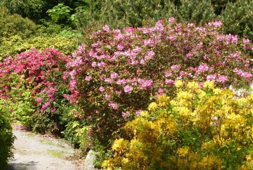 Vorwerkpark - Rhododendronblüte